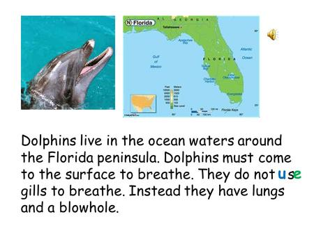 Dolphins live in the ocean waters around the Florida peninsula. Dolphins must come to the surface to breathe. They do not s gills to breathe. Instead.