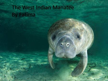 The West Indian ManateeThe West Indian Manatee By FatimaBy Fatima.