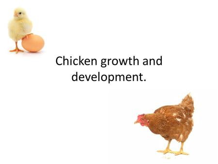 Chicken growth and development.. Chickens…where did it come from? Gallus domesticus- latin name for common chicken. Archaeological evidence suggests that.