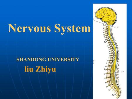 Nervous System SHANDONG UNIVERSITY liu Zhiyu. Introduction Brain Stem Telencephalon Diencephalon Cerebellum Midbrain Pons Medulla oblongata 1. Divisions.