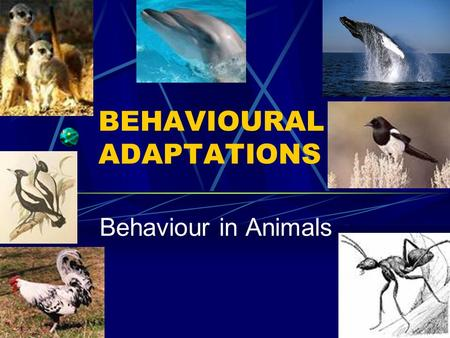BEHAVIOURAL ADAPTATIONS Behaviour in Animals. Innate Behaviours Rhythmic Behaviours Animals repeat behaviours at regular intervals Different species of.