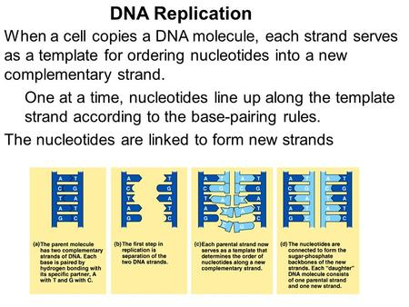 When a cell copies a DNA molecule, each strand serves as a template for ordering nucleotides into a new complementary strand. DNA Replication The nucleotides.