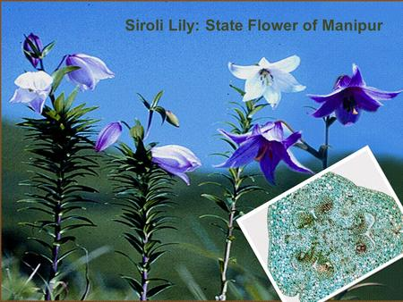 Siroli Lily: State Flower of Manipur. Cross- sectional Study Subodh S Gupta MGIMS, Sewagram.
