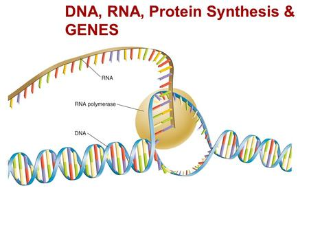 RNA and Protein Synthesis DNA, RNA, Protein Synthesis & GENES.
