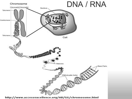 DNA / RNA. tRNA rRNA mRNA 5' 3' Types of RNA Transcription: transfer of information from DNA to RNA in the nucleus  In the process of transcription.