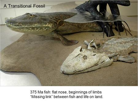 "A Transitional Fossil 375 Ma fish: flat nose, beginnings of limbs ""Missing link"" between fish and life on land."