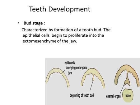 Teeth Development Bud stage : Characterized by formation of a tooth bud. The epithelial cells begin to proliferate into the ectomesenchyme of the jaw.