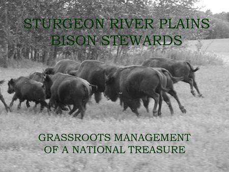 STURGEON RIVER PLAINS BISON STEWARDS GRASSROOTS MANAGEMENT OF A NATIONAL TREASURE.