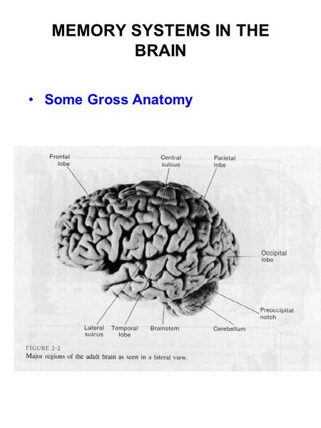 MEMORY SYSTEMS IN THE BRAIN Some Gross Anatomy. The Human Brain saggital section at midline.