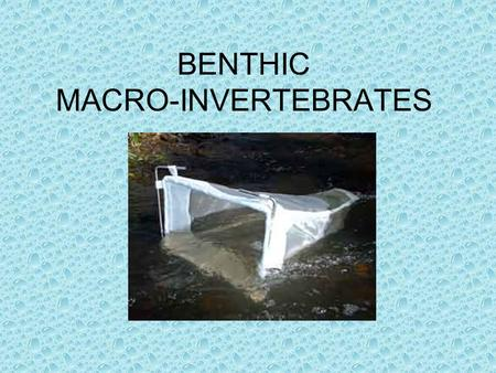 BENTHIC MACRO-INVERTEBRATES. MACRO = LARGE INVERTEBRATE = ANIMAL LACKING A BACKBONE.