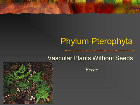 Phylum Pterophyta Vascular Plants Without Seeds Ferns.