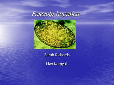 Fasciola hepatica Sarah Richards Max Karpyak. Scientific Classification Kingdom: Animalia Phylum: Platyhelminthes Class: Trematoda Subclass: Digenea Prder.