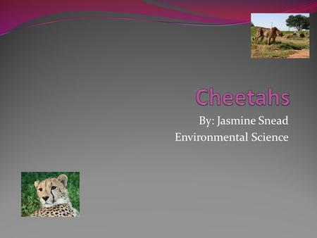 By: Jasmine Snead Environmental Science. About Cheetahs Cheetahs are the fastest land animal in the world Their top speed is over 60 mph They mainly eat.