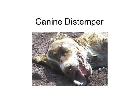 Canine Distemper. It is a highly contagious and serious disease caused by a virus that attacks the respiratory, gastrointestinal, and often, the nervous.