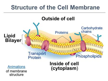 Outside of cell Inside of cell (cytoplasm) Lipid Bilayer Proteins Transport Protein Phospholipids Carbohydrate chains Structure of the Cell Membrane Go.