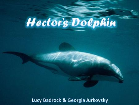 Main Features Compared to other species of dolphins, the Hector's dolphin is the smallest. An adult dolphin will grow only to a length of 1.2 to 1.4,