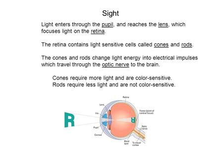 Light enters through the pupil, and reaches the lens, which focuses light on the retina. The retina contains light sensitive cells called cones and rods.