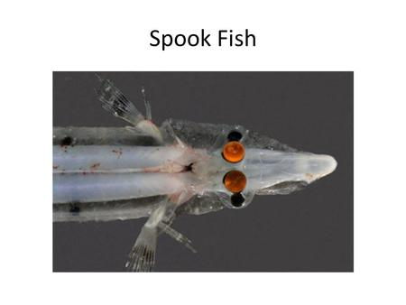 Spook Fish. Eyes How We See Eye Anatomy Nocturnal Eye.
