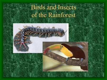 Birds and Insects of the Rainforest Introduction The rainforest provides birds and insects with a rich source of food. Scientists believe that there.