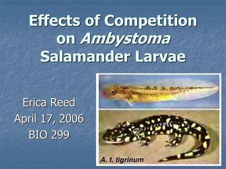 Effects of Competition on Ambystoma Salamander Larvae Erica Reed April 17, 2006 BIO 299.