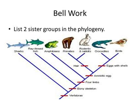 Bell Work List 2 sister groups in the phylogeny..