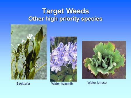 Target Weeds Other high priority species SagittariaWater hyacinth Water lettuce.