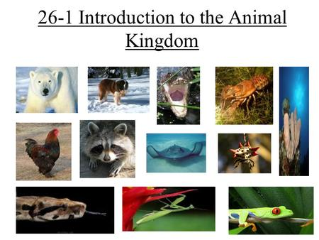 26-1 Introduction to the Animal Kingdom. The Animal Kingdom Animals are: –Multicellular –Eukaryotic –Heterotrophs –Organisms with cells without cell walls.