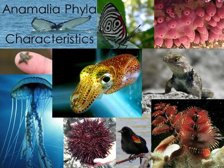 Anamalia Phyla Characteristics. Phylum Porifera System of pores through which water passes and food is captured Sponges are either radially symmetrical.