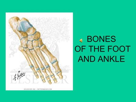 BONES OF THE FOOT AND ANKLE. 14 Phalanges Distal, middle and proximal phalanges toes(2-5) Great toe (1) Only has Proximal and Distal phalanges 23 4 5.