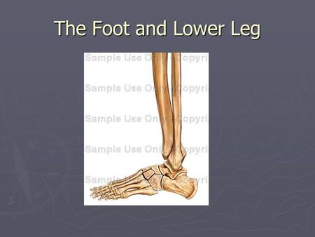 The Foot and Lower Leg. Foot and Lower Leg ► 15% of lower leg injuries involve this area ► 20,000 ankle sprains a day in the USA ► The foot absorbs 3x.