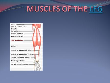 MUSCLES OF THE POSTERIOR LEG Gastrocnemius: two bellies Soleus: deep to gastroc, but wider Plantaris: absent in approx. 10% of people Popliteus: deepest.