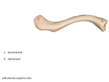 Left clavicle, superior view 2 1 1.acromial end 2.sternal end.