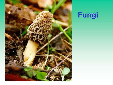 Fungi. Fungal Characteristics: Eukaryotic Multicellular Kingdom Feed by Absorptive Nutrition Tubular cell shape, called Hyphae –Septate or aseptate hyphae.