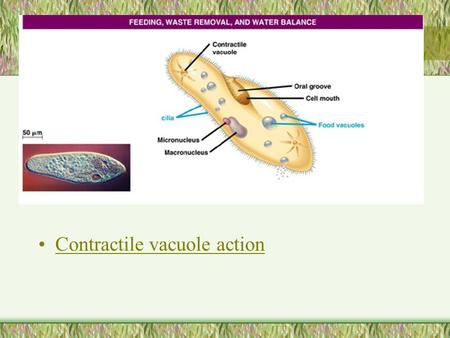 Contractile vacuole action. Amoeboid movement See it!