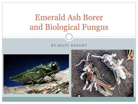 BY:MATT KNIGHT Emerald Ash Borer and Biological Fungus.