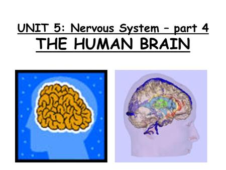 UNIT 5: Nervous System – part 4 THE HUMAN BRAIN.