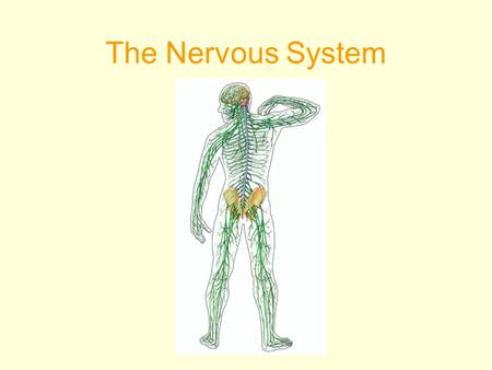 The Nervous System. The NERVOUS SYSTEM controls and coordinates functions throughout the body and responds to internal and external stimuli.