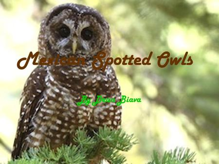 Mexican Spotted Owls By Dean Biava. Adaptations Physical Traits Brown spotted feathers Dark brown eyes Behavior adaptations A nocturnal predator It is.