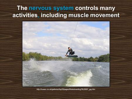 Nervous system,muscle movement The nervous system controls many activities, including muscle movement