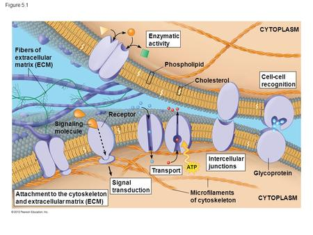 Figure 5.1 Fibers of extracellular matrix (ECM) Enzymatic activity Phospholipid Cholesterol CYTOPLASM Cell-cell recognition Glycoprotein Intercellular.