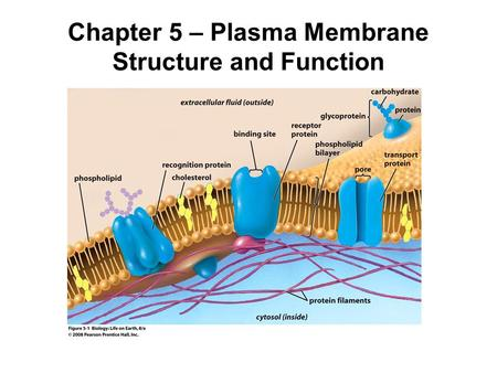 Chapter 5 – Plasma Membrane Structure and Function.