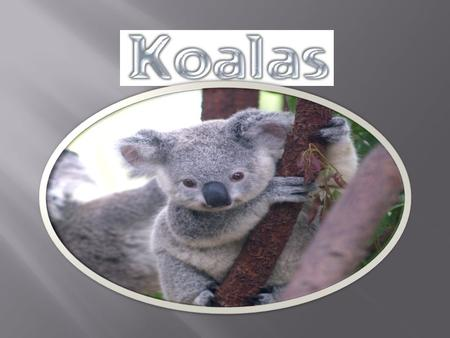Size: 70 - 90cm (27 - 36 inch) Weight: 4 - 9kg (9 - 20 lb) The males are larger than females. Southern koalas are 30% larger than the Northern koalas.