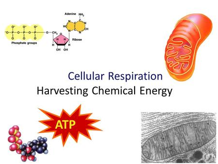 2009-2010 Cellular Respiration Harvesting Chemical Energy ATP.