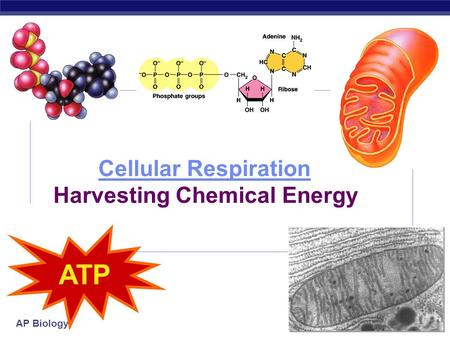 AP Biology 2006-2007 Cellular Respiration Cellular Respiration Harvesting Chemical Energy ATP.