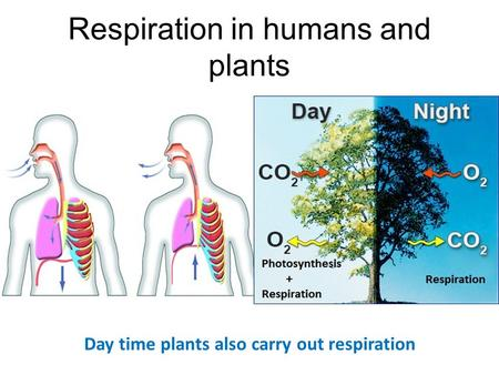 Respiration in humans and plants Day time plants also carry out respiration.
