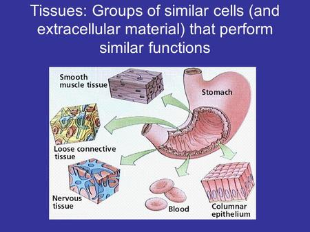 Tissues: Groups of similar cells (and extracellular material) that perform similar functions.