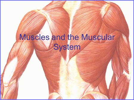 Muscles and the Muscular System. Objectives; Look at the 3 different types of muscle. Take a close look at muscle fibre. Look at the major muscles in.