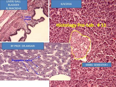 Histology Pre-Lab. # 11 6/4/2016 LIVER/ GALL BLADDER & PANCREAS BY PROF. DR.ANSARI MBBS SEMESTER I 1.