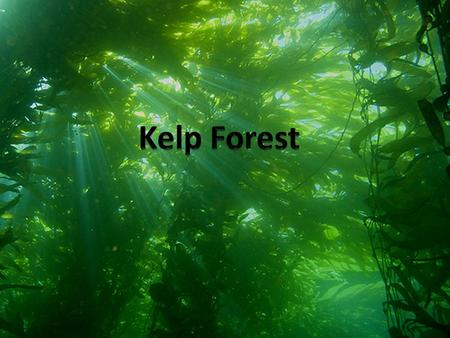 Kelp Forests… Are large masses made up of Macroalgae(kelp) Are constituted of brown kelp of the order Laminariales.