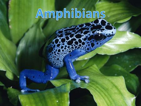 Ancestor Amphibians – evolved from lobe-finned fish Ichthyostega presents rudimentary amphibian features (different from fish) – Girdles (pelvic and.